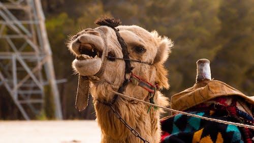 Foto stok gratis amimal, Arab, cokelat, kebun binatang