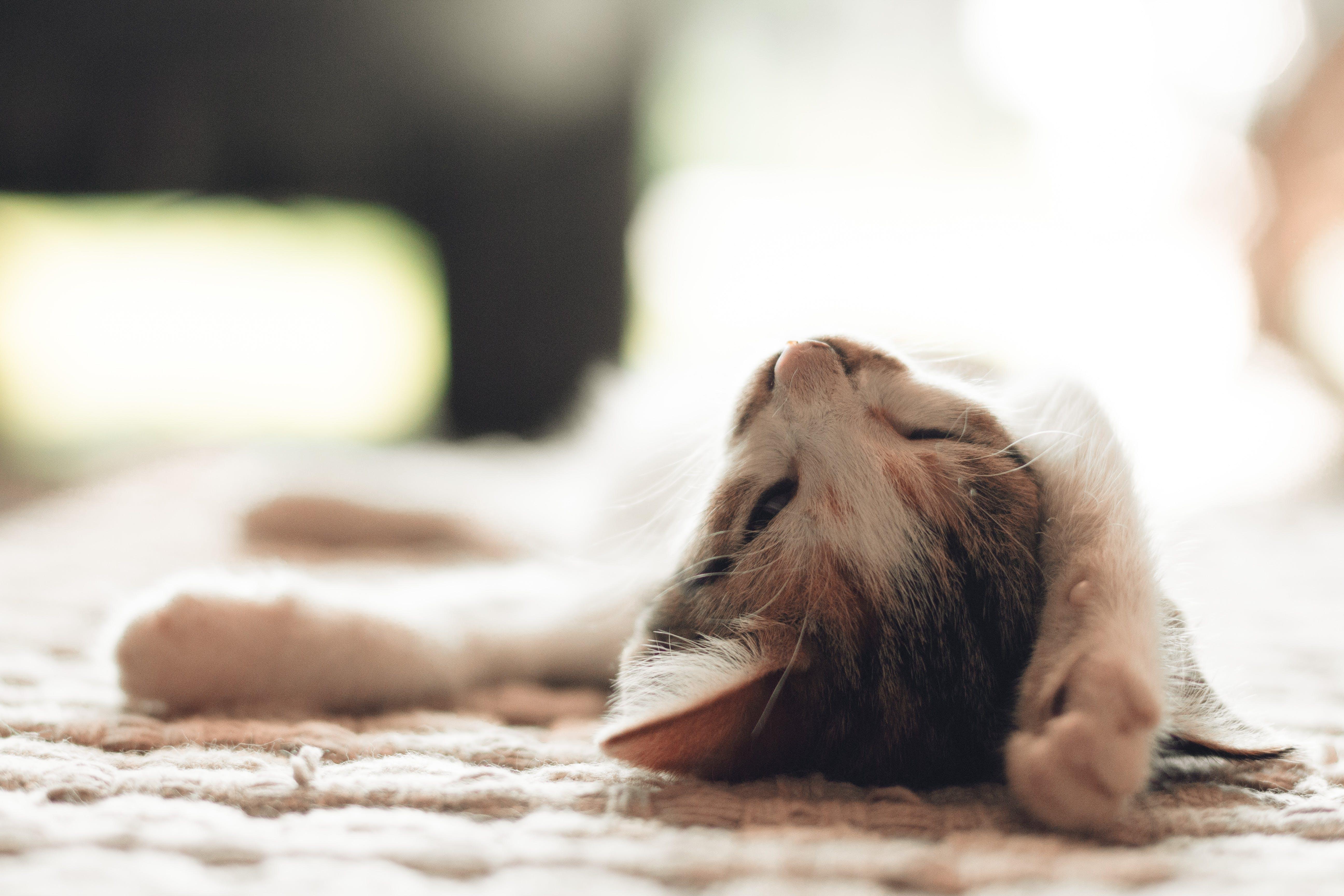 A lazy cat