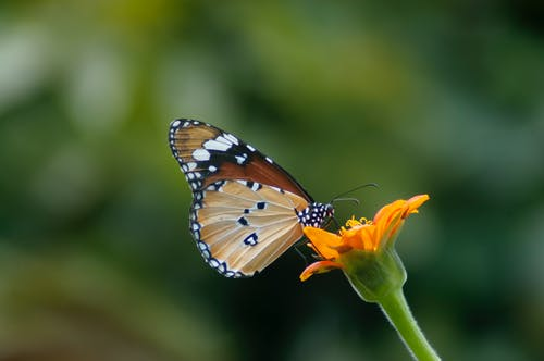 Selective Focus Photography of Queen Butterfly Pollinating on Orange Petaled Flower