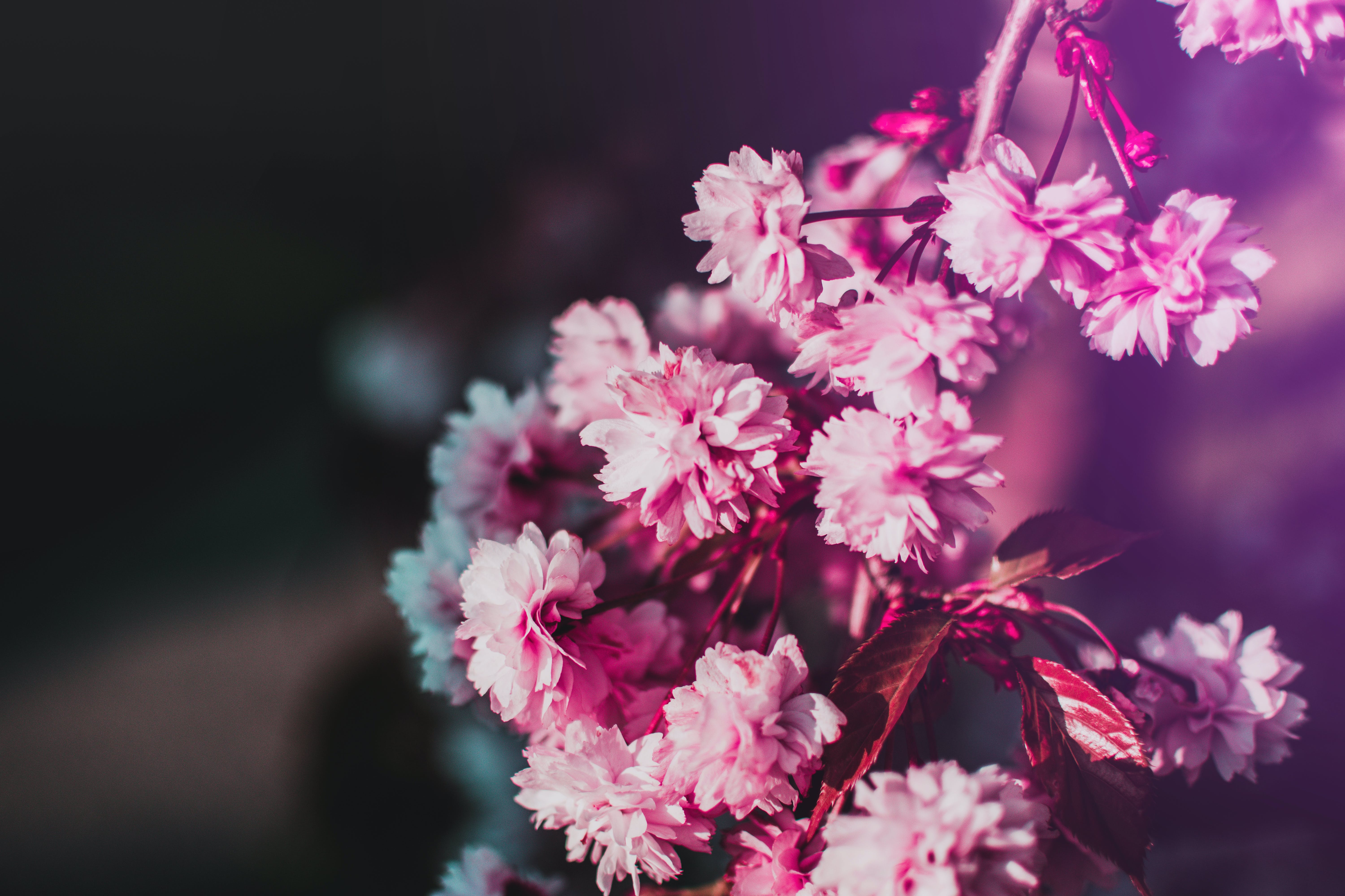 Selective-focus Photography of Pink Flowers