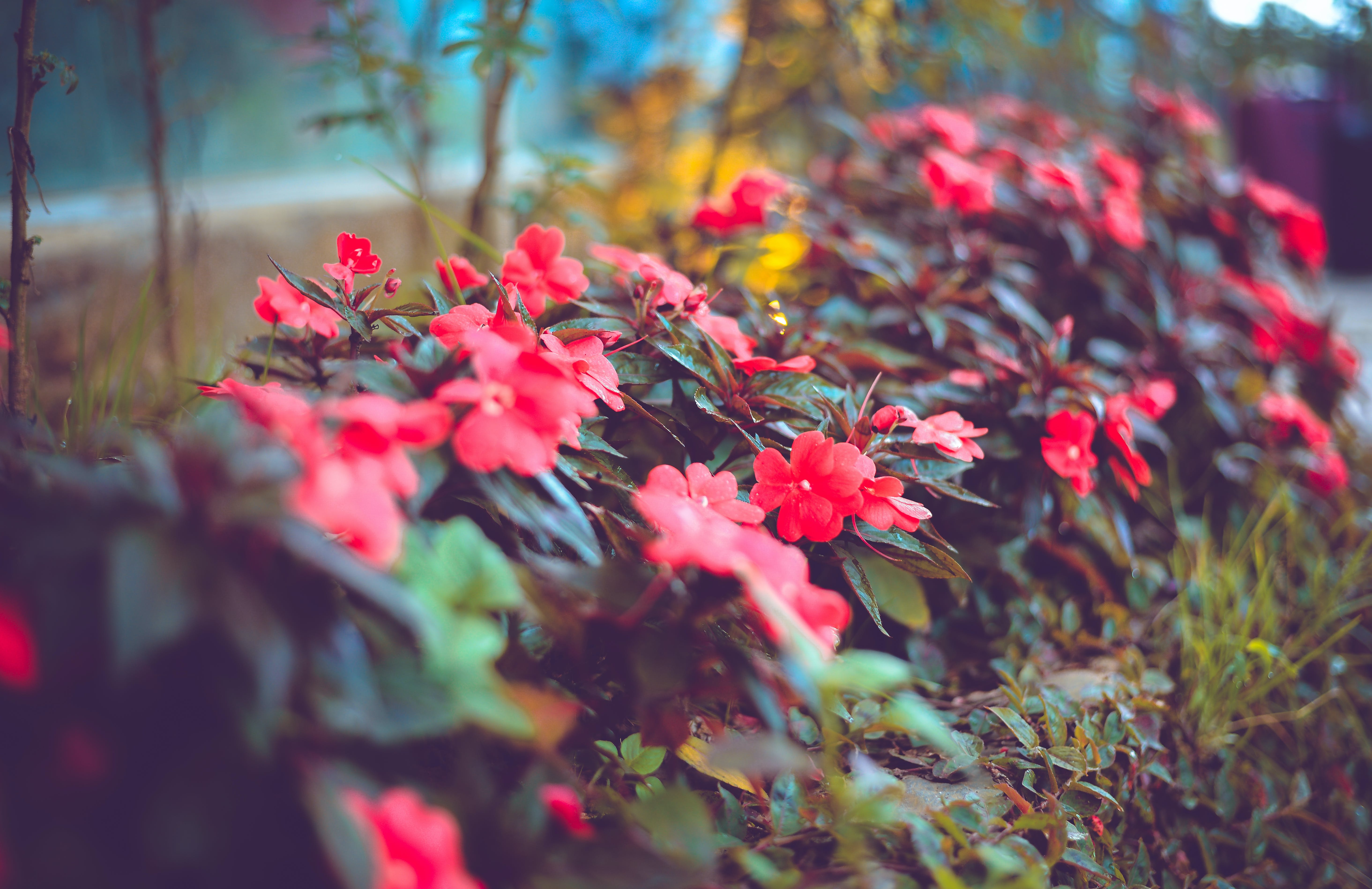 Selective Focus Photography of Red Impatiens Flowers