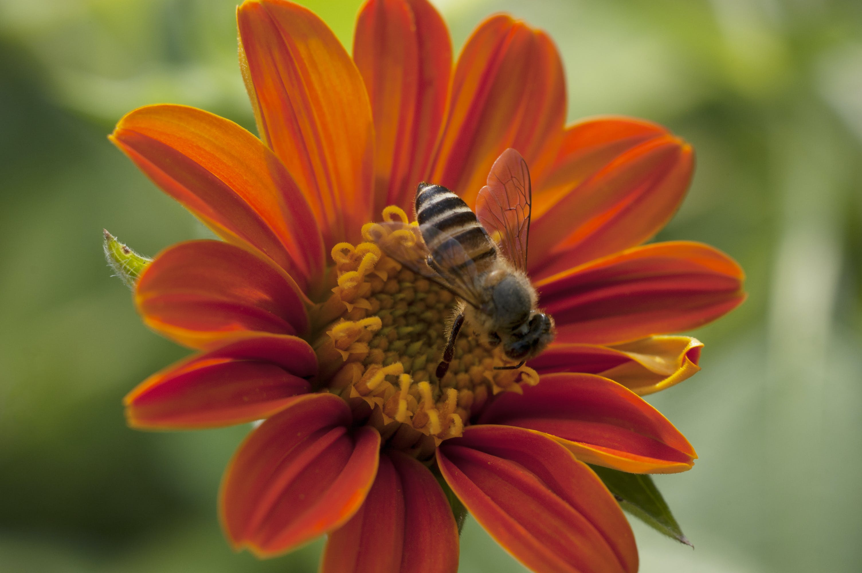 Free stock photo of bee, tithonia flower