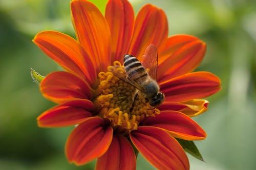 Ingyenes stockfotó méh, tithonia virág témában