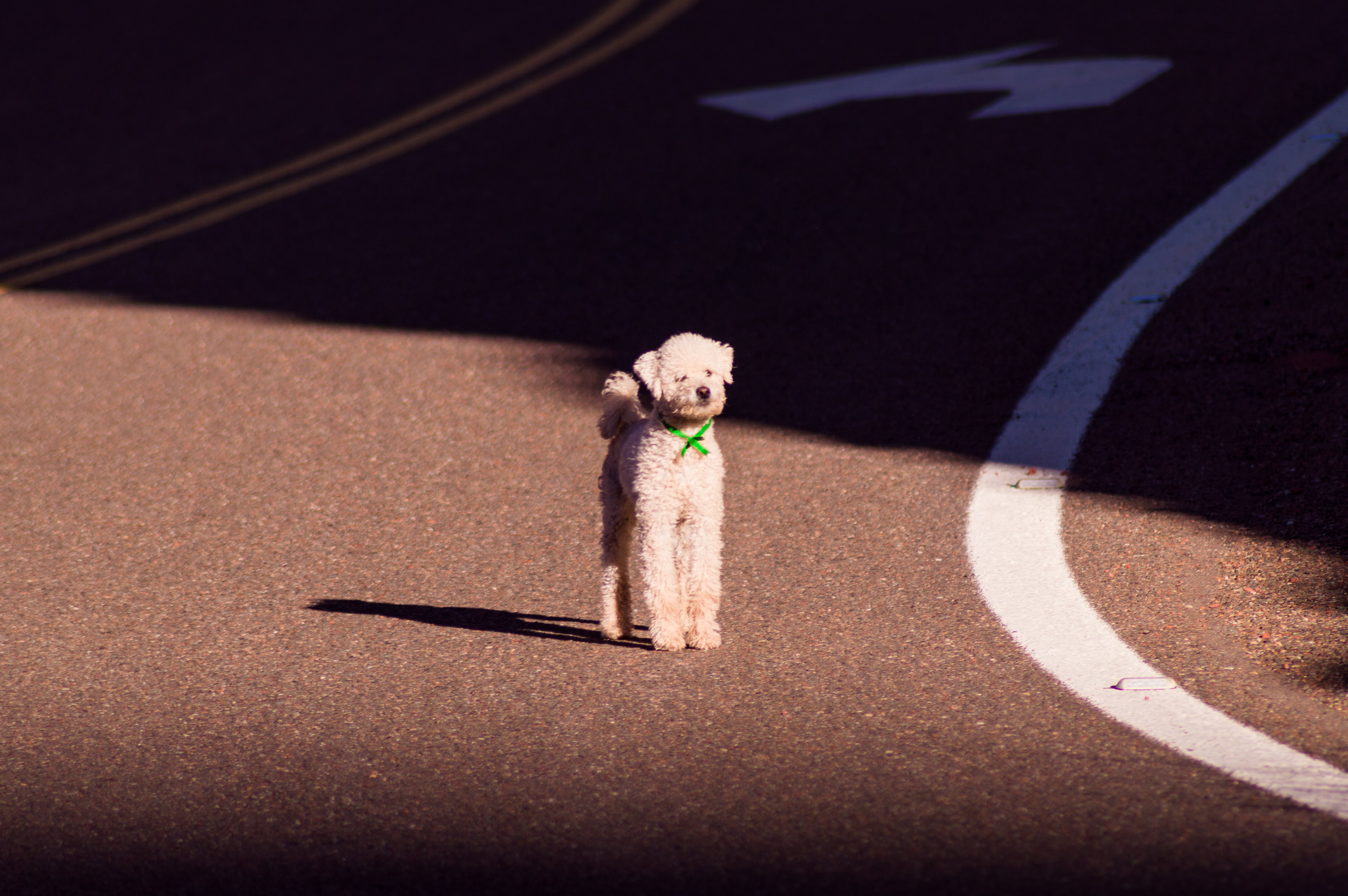 White Toy Poodle Standing on Road at Daytime