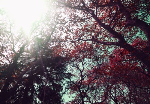 Low Angle of Red Leaf Trees during Daytime