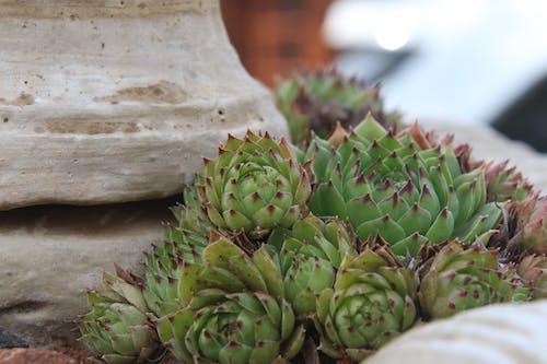 Ingyenes stockfotó botanikus, gyár, kaktuszféle, közelkép témában