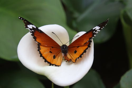 African Monarch Butterfly on White Calla Lily Flower