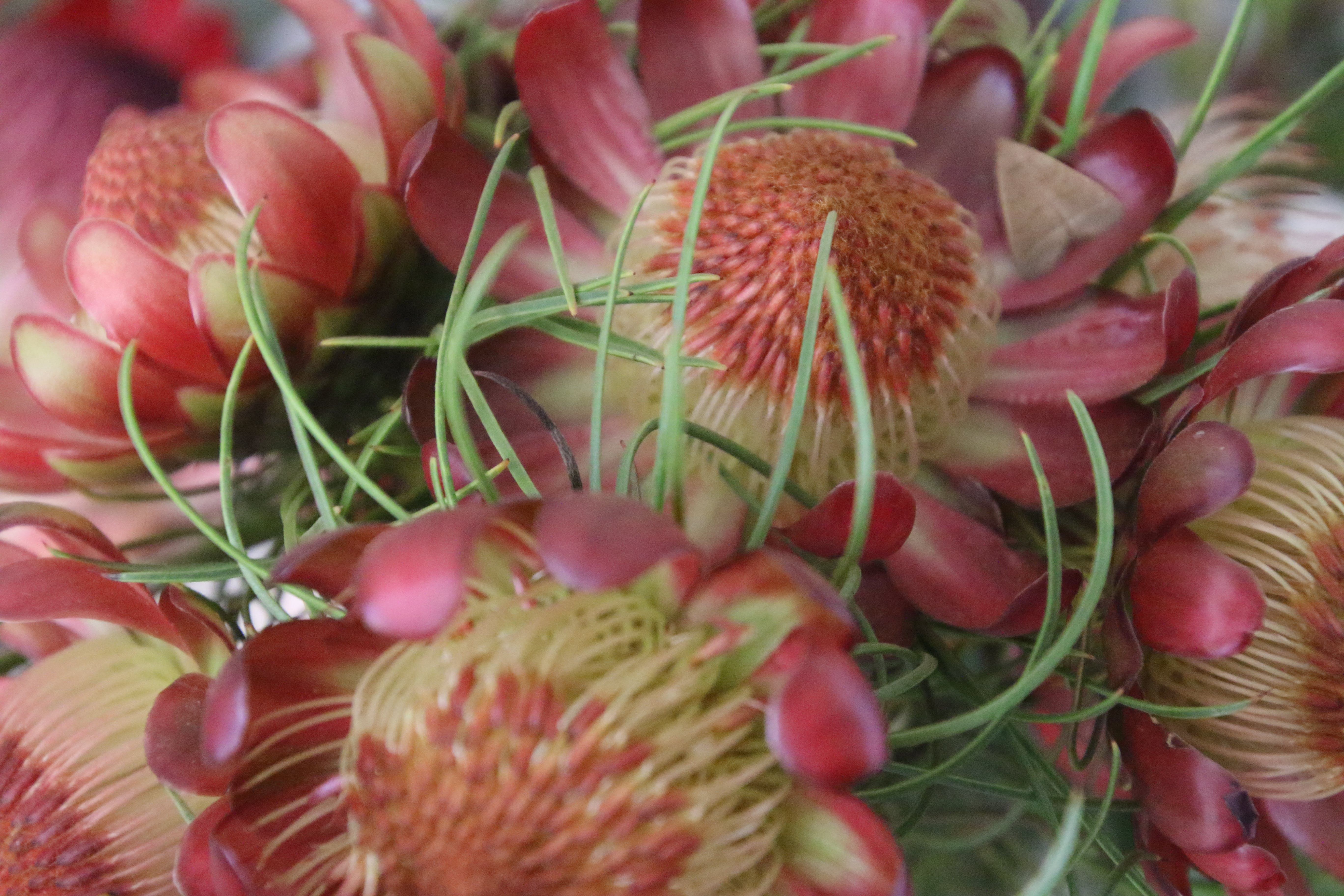 Closeup Photography of Red-and-yellow Protea Flowers