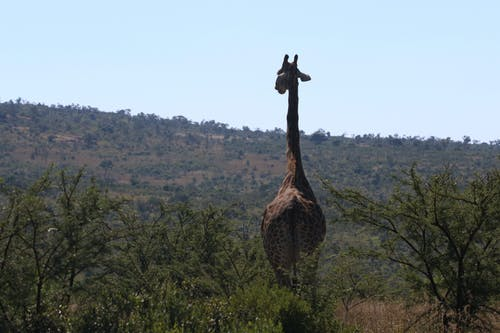 Ingyenes stockfotó Afrika, állat, állatkert, állatok témában