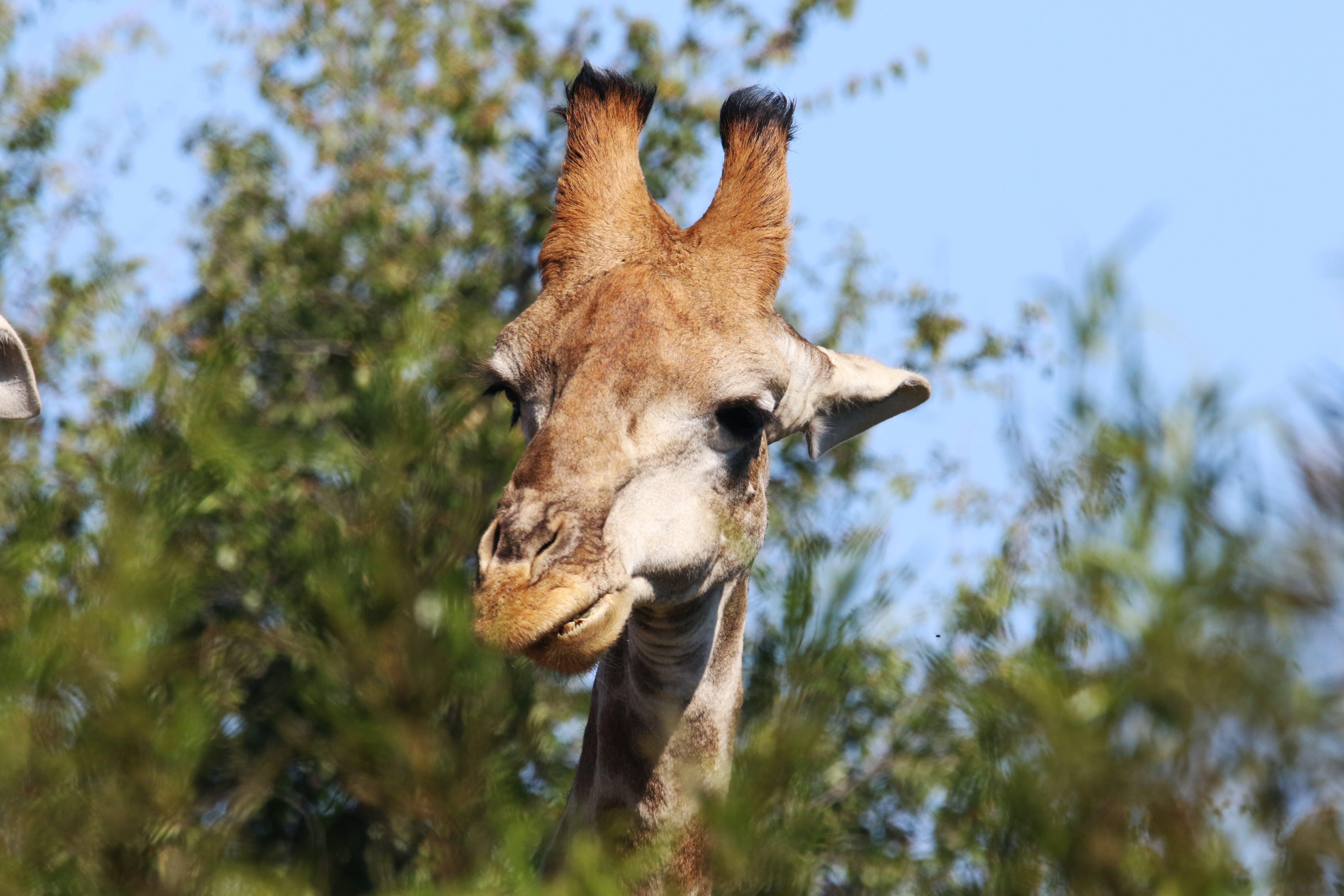Closeup Photo of Brown Giraffe
