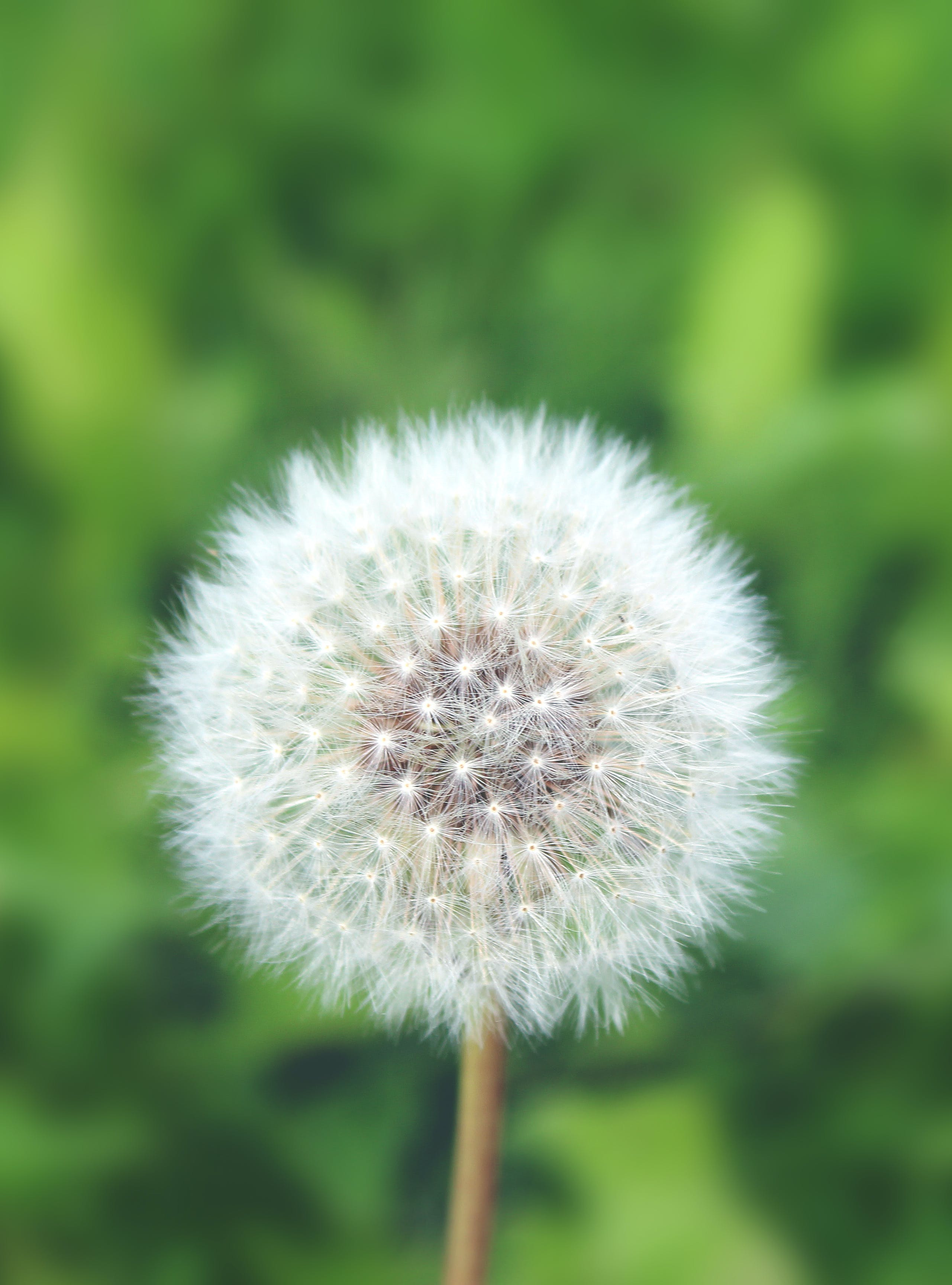 Free stock photo of air flower, bliss, dandelion, dandelions