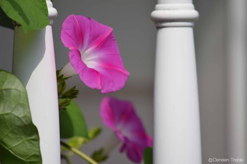 Free stock photo of morning glory