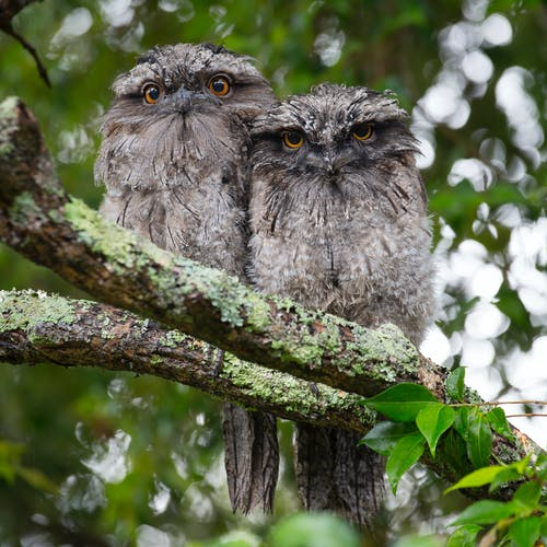 2 Owls on Tree Branch during Daytime