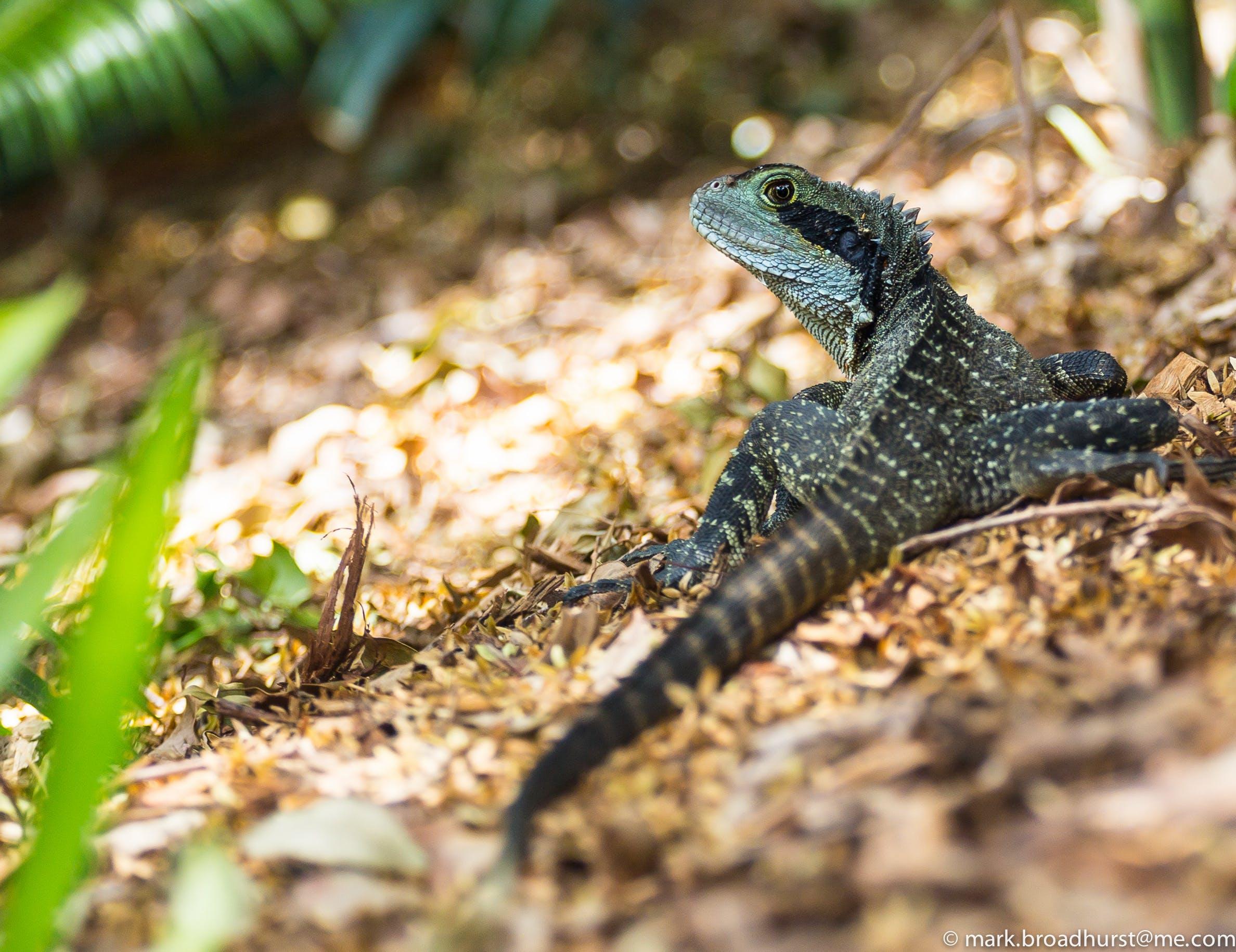 Základová fotografie zdarma na téma divočina, hloubka ostrosti, ještěrka, zvíře