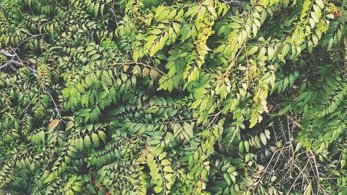 Foto d'estoc gratuïta de arbre, arbre de ashoka, branques, branques d'arbre