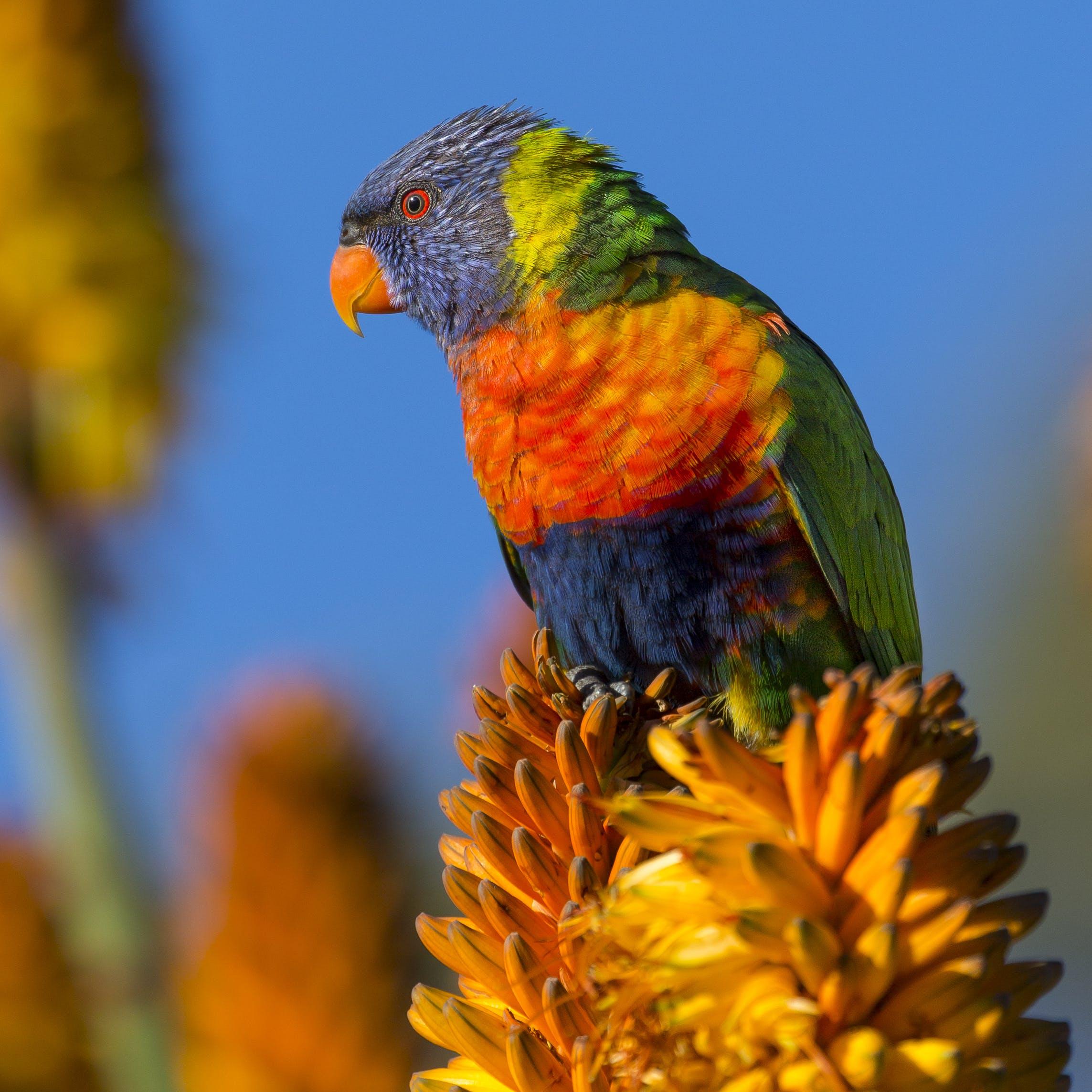 Blue Orange and Green Bird on Yellow Flower