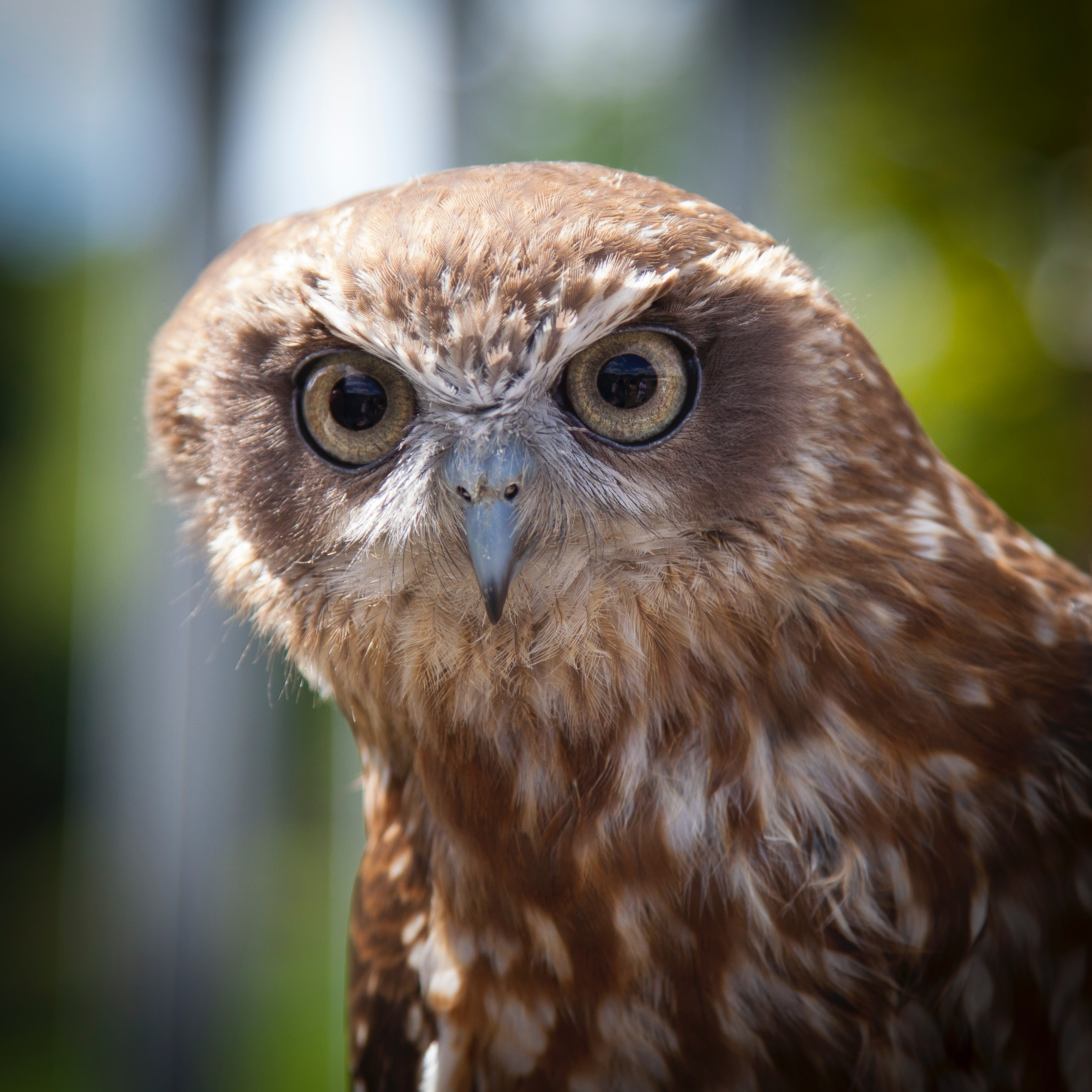 93 Gambar Binatang Burung Hantu Terbaik