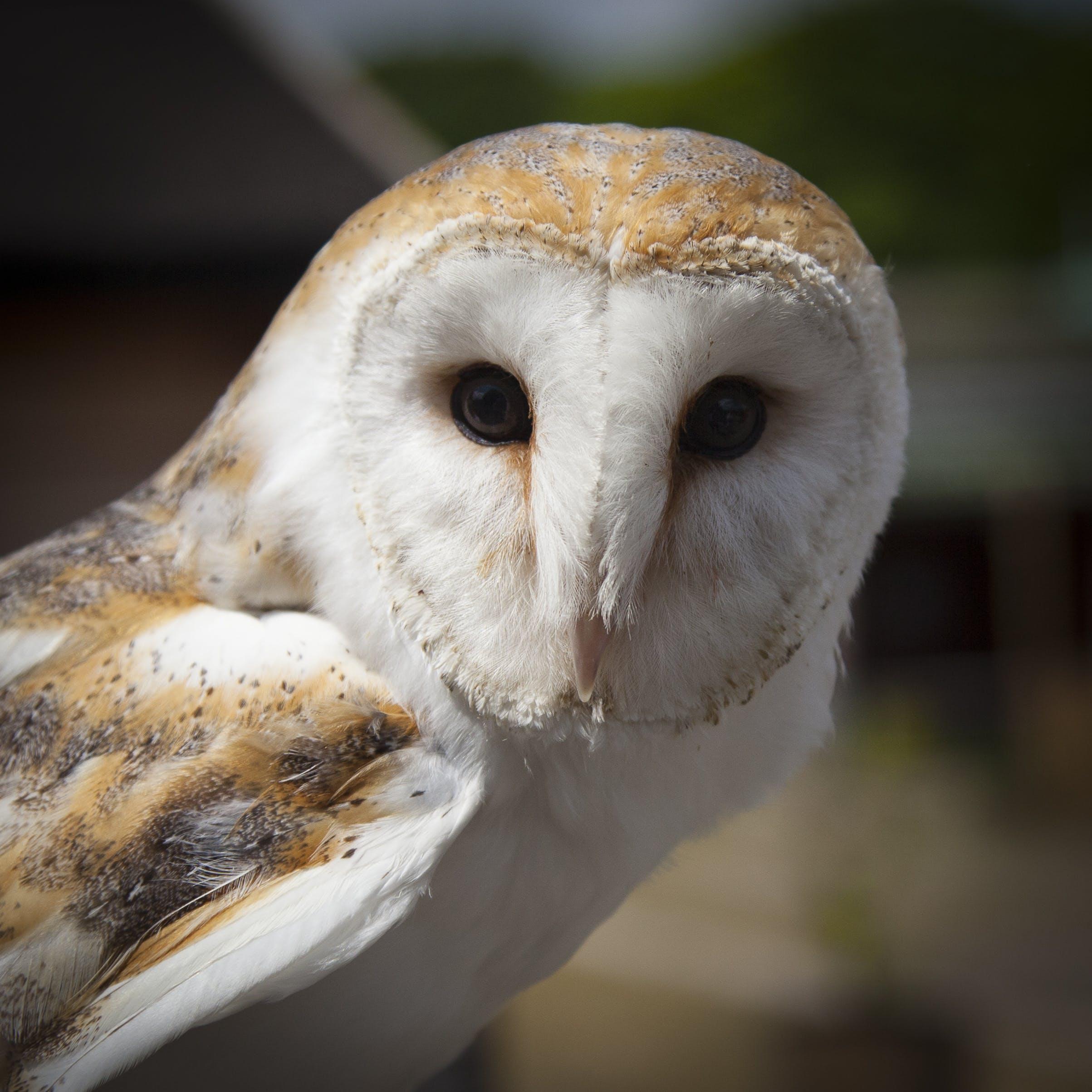 White and Brown Owl Animal