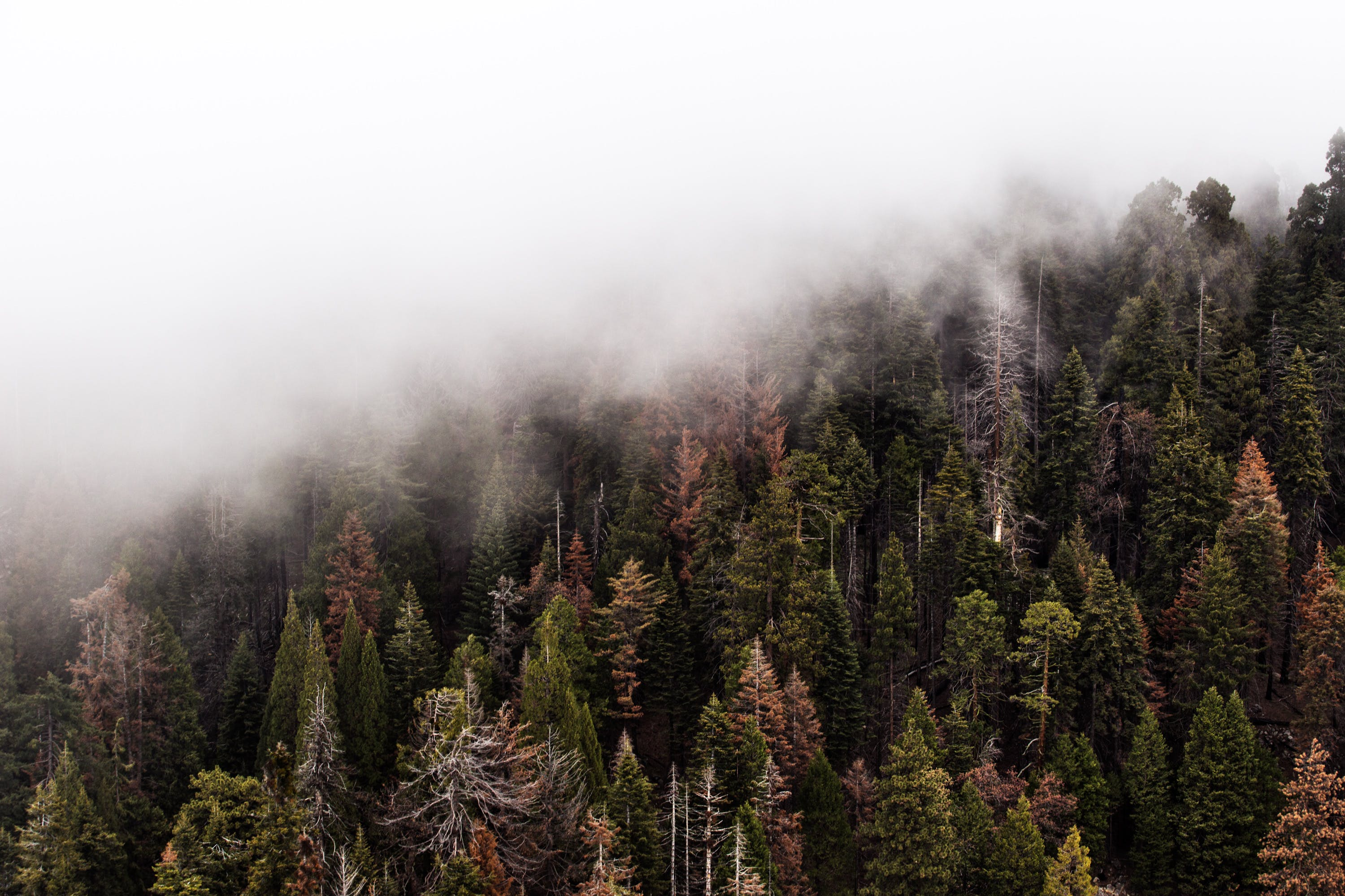 Green Pine Trees With Fog