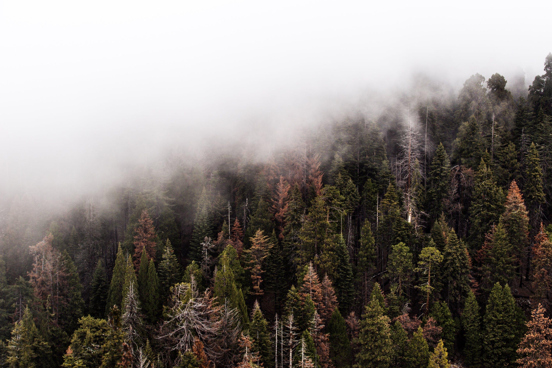 green pine trees with fog  u00b7 free stock photo