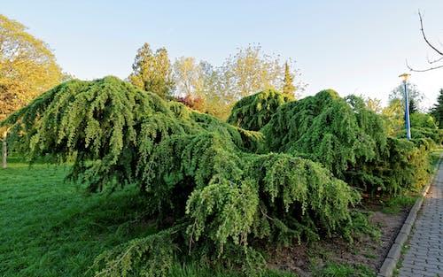 Ilmainen kuvapankkikuva tunnisteilla asfaltoitu polku, havupuinen, havupuut, kasvikunta