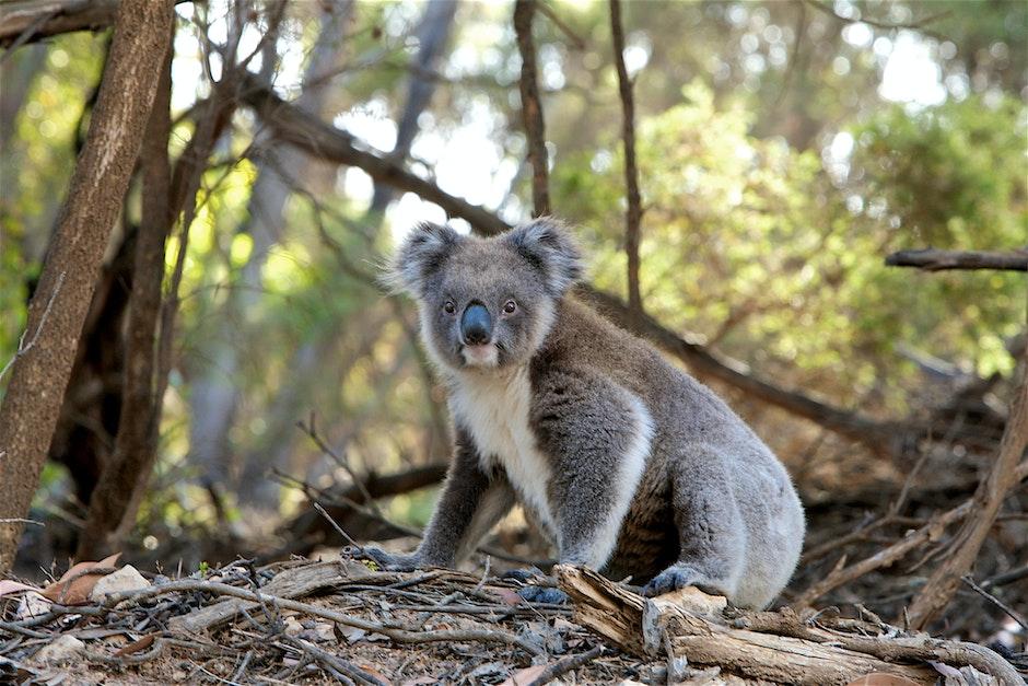 Gray and White Koala Bear Near Trees
