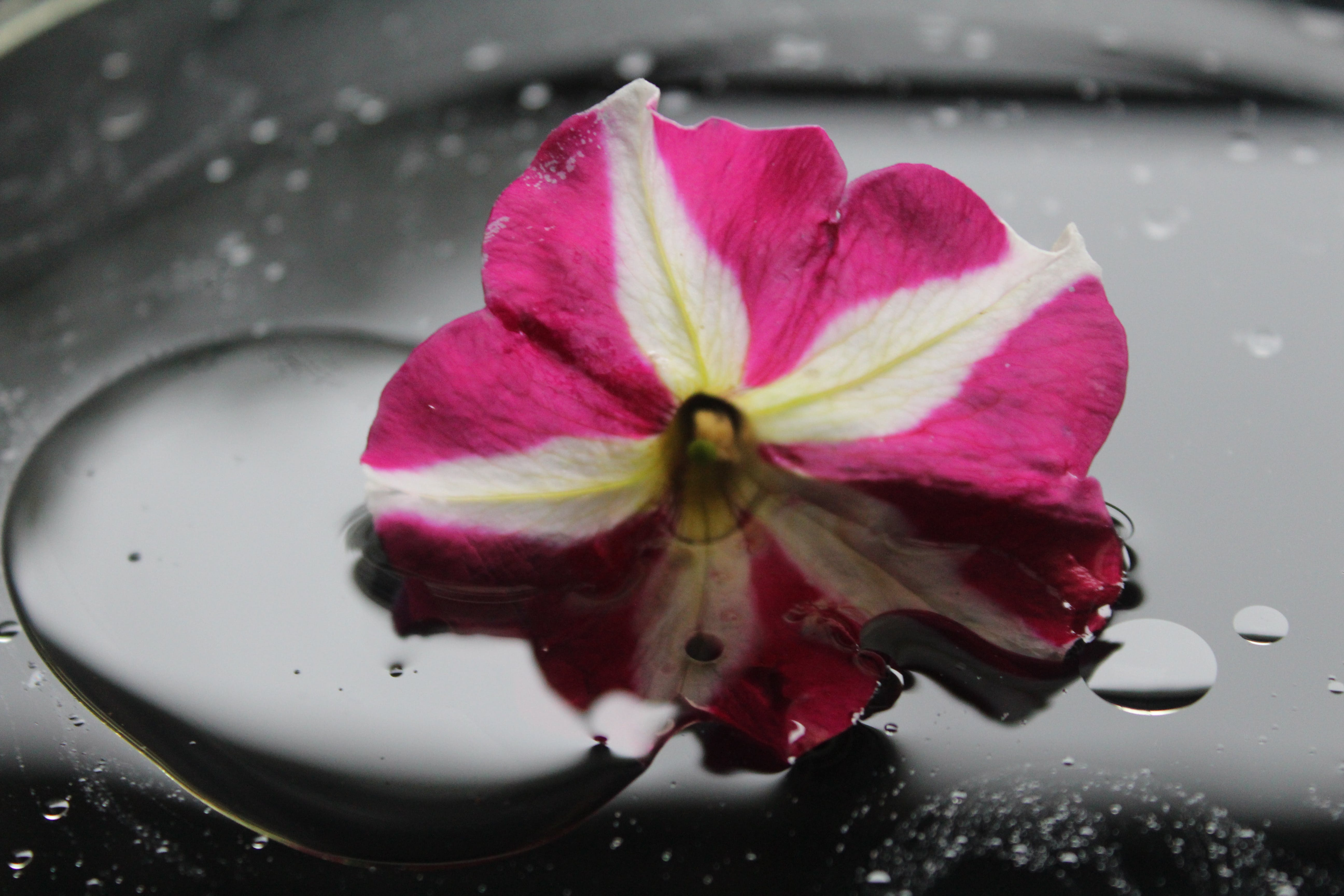 Pink and White Petunia Flower With Water Dew