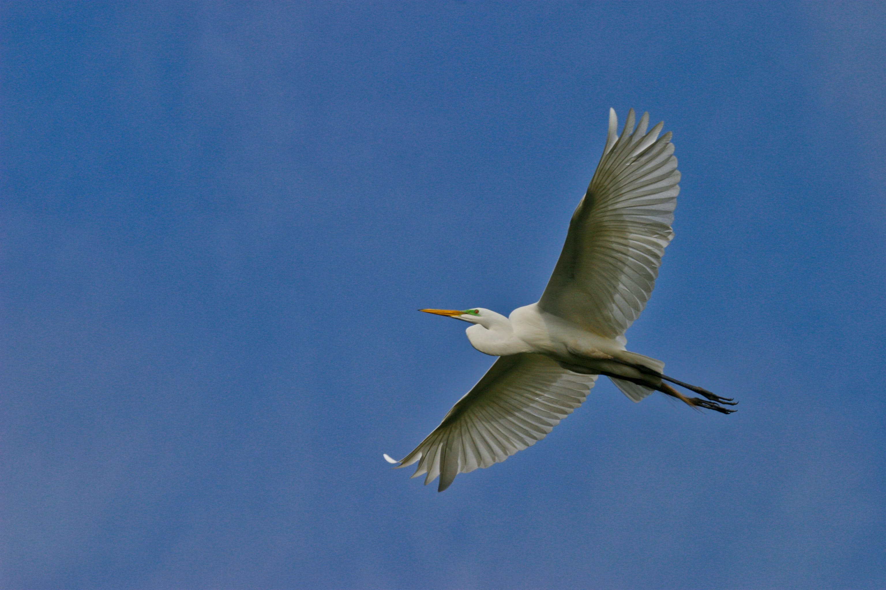 Great Egret Flying Under Blue Sky