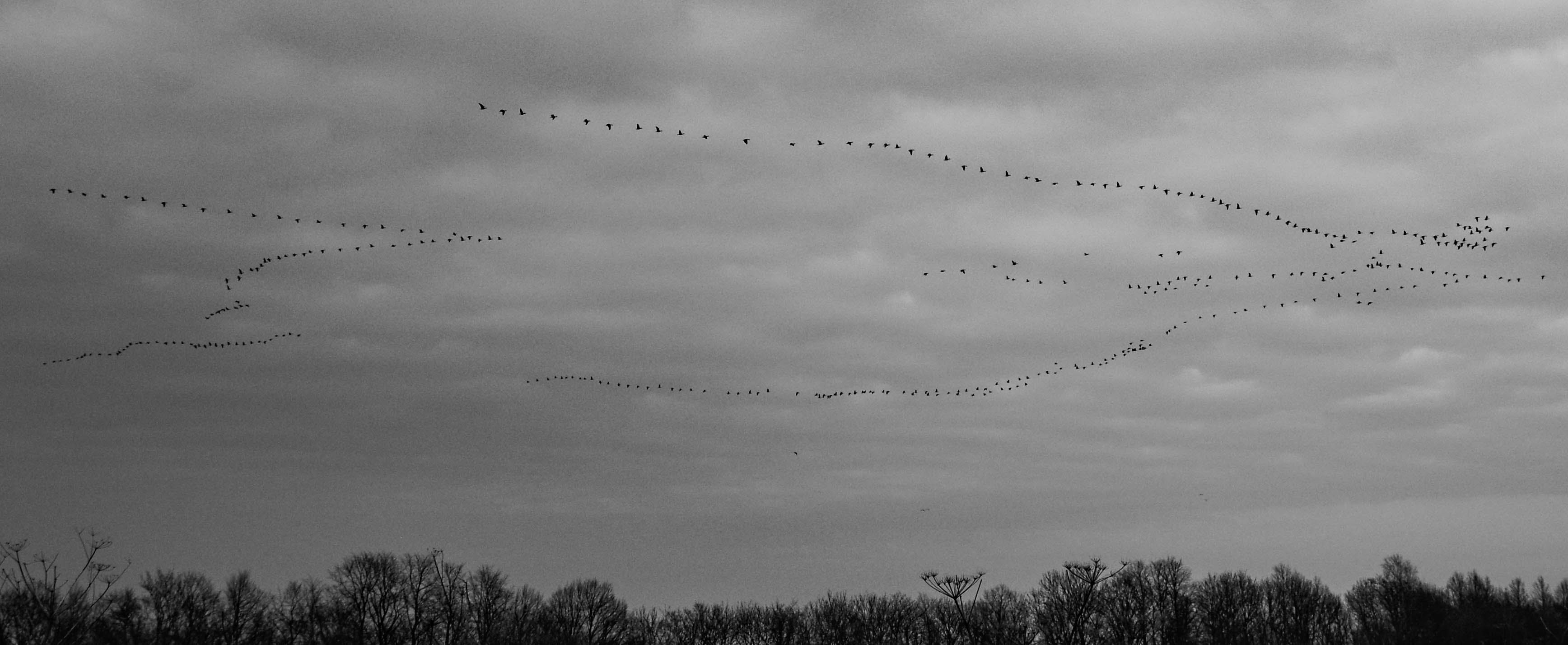 Flock of Flying Bird Formation in Grayscale Photography