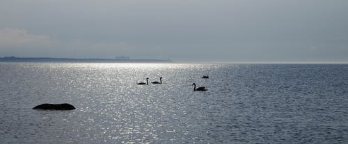 Silhouette of Flock of Swans on Body of Water