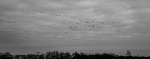 Silhouette of Flock of Birds Flying Under White Clouds