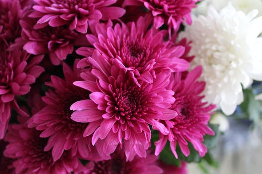 1000 interesting pink flowers photos pexels free stock photos close up photography of pink chrysanthemum flowers mightylinksfo