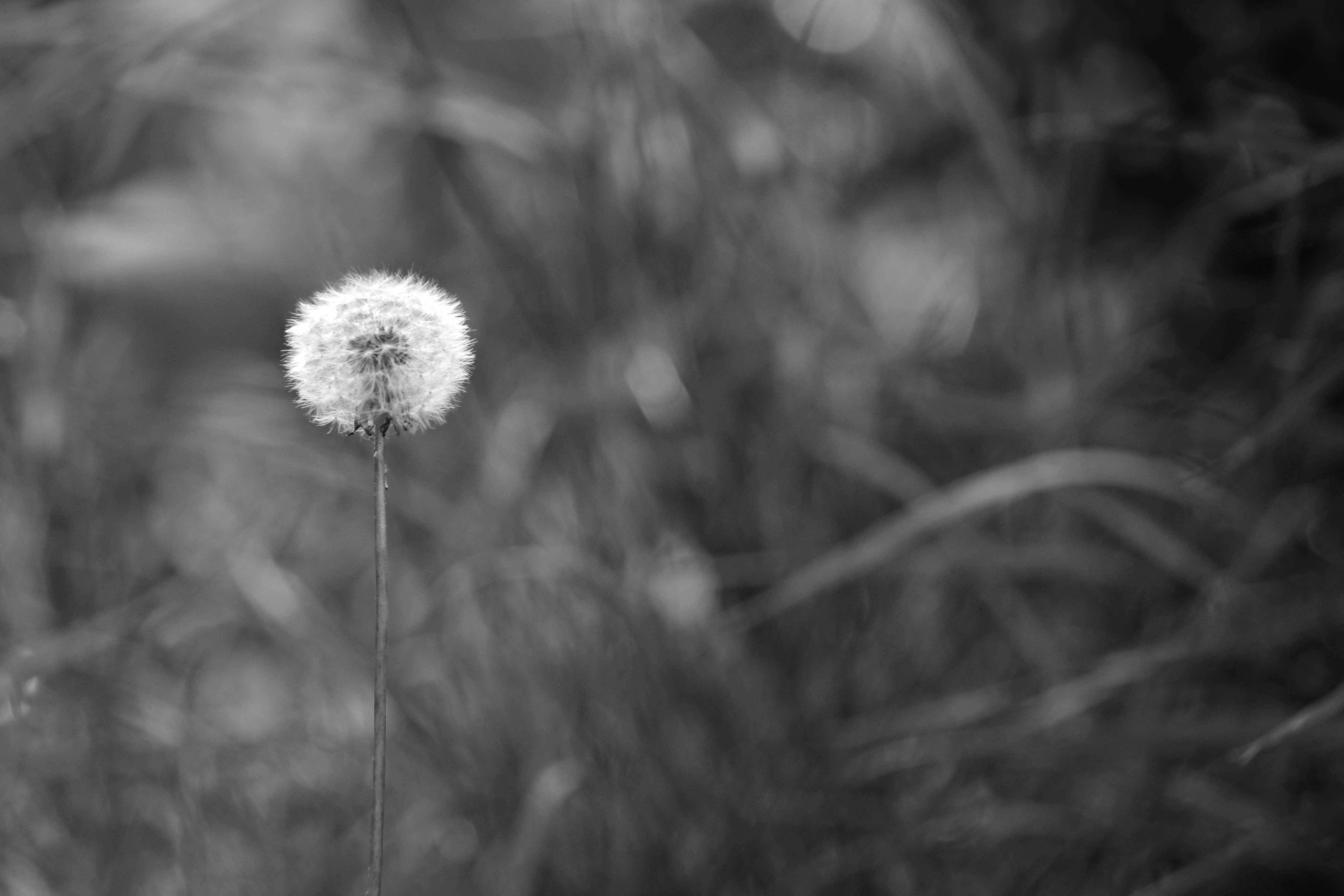 Greyscale Photo of Dandelion Seed