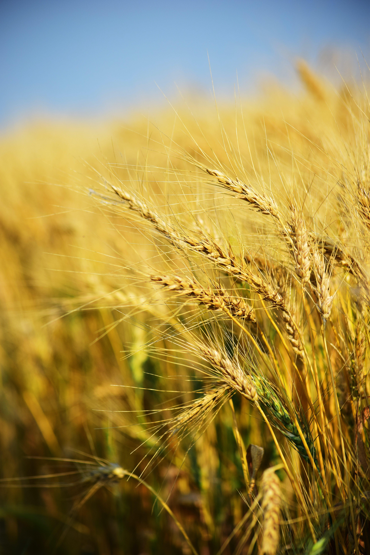 Closeup Photography of Rice Grains