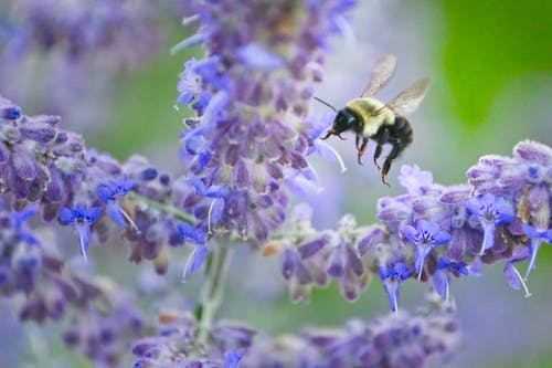 Free stock photo of bee, Bee Landing, Russian Sage