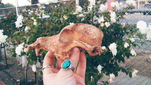 Free stock photo of dog, roses, skull, white roses