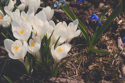 Základová fotografie zdarma na téma bílá, krokus, květiny, matné