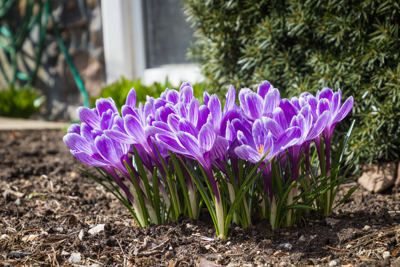 Close-up Photo of Purple Crocus Flowers