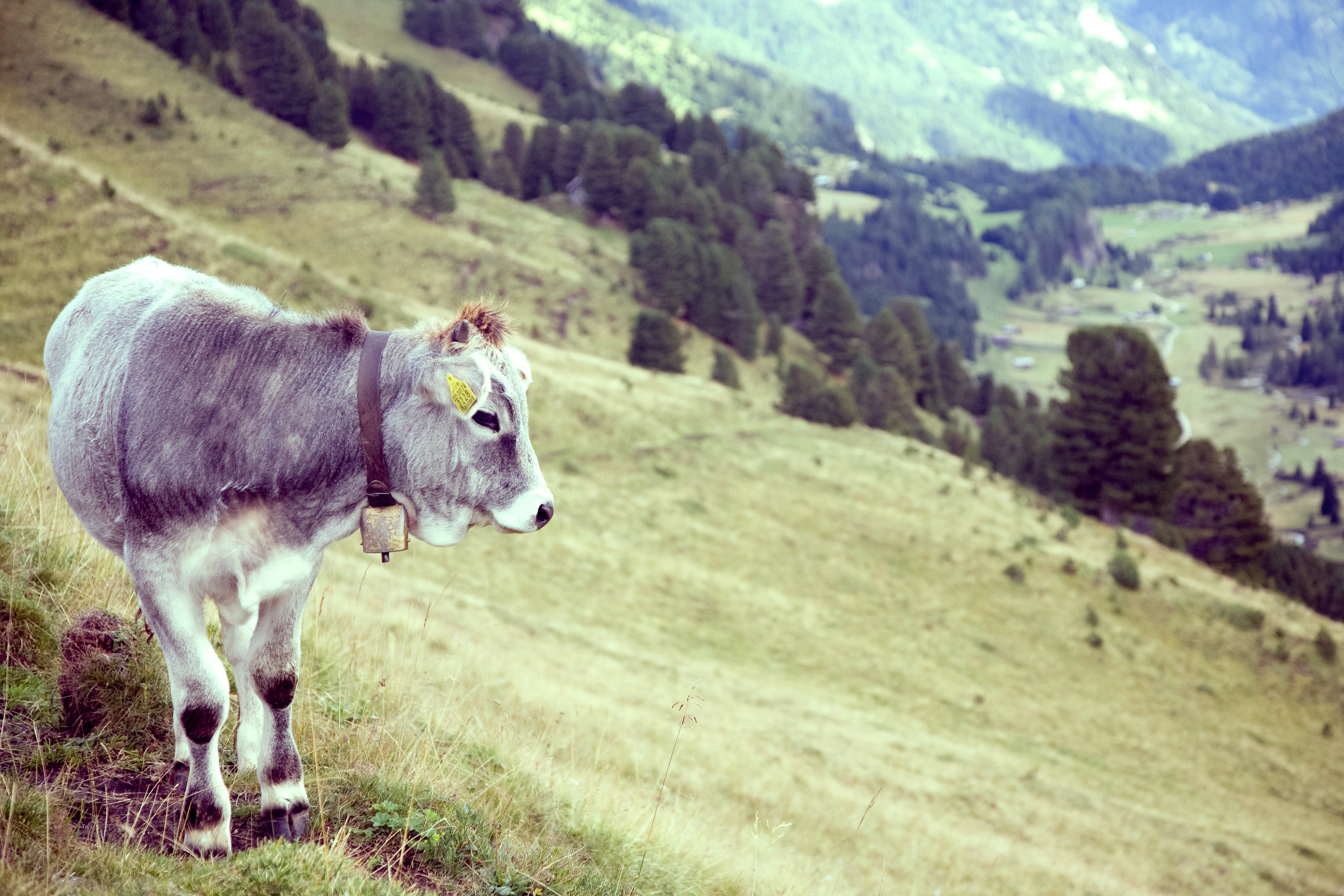 Grey Cow on Green Grass Field Near Near Trees during Daytime
