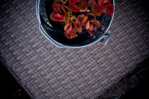Foto d'estoc gratuïta de cubell, planta de jardí, planta vermella, traceyshawphotography