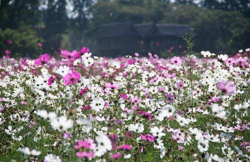 Ilmainen kuvapankkikuva tunnisteilla kasvikunta, kenttä, kukat, kukinta