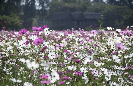 White and Purple Petal Flower Field