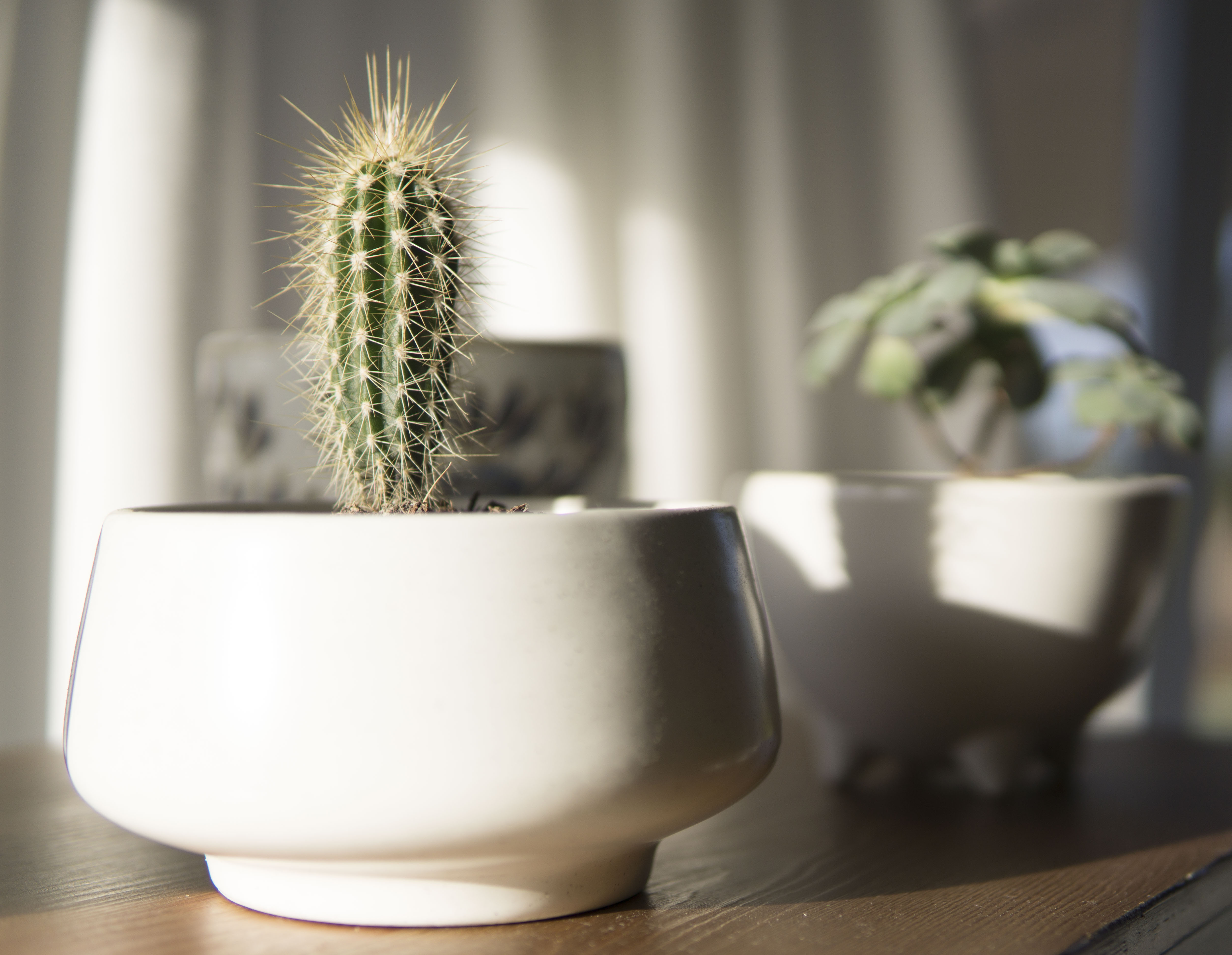 White Potted Cactus Plant in Closeup Photo