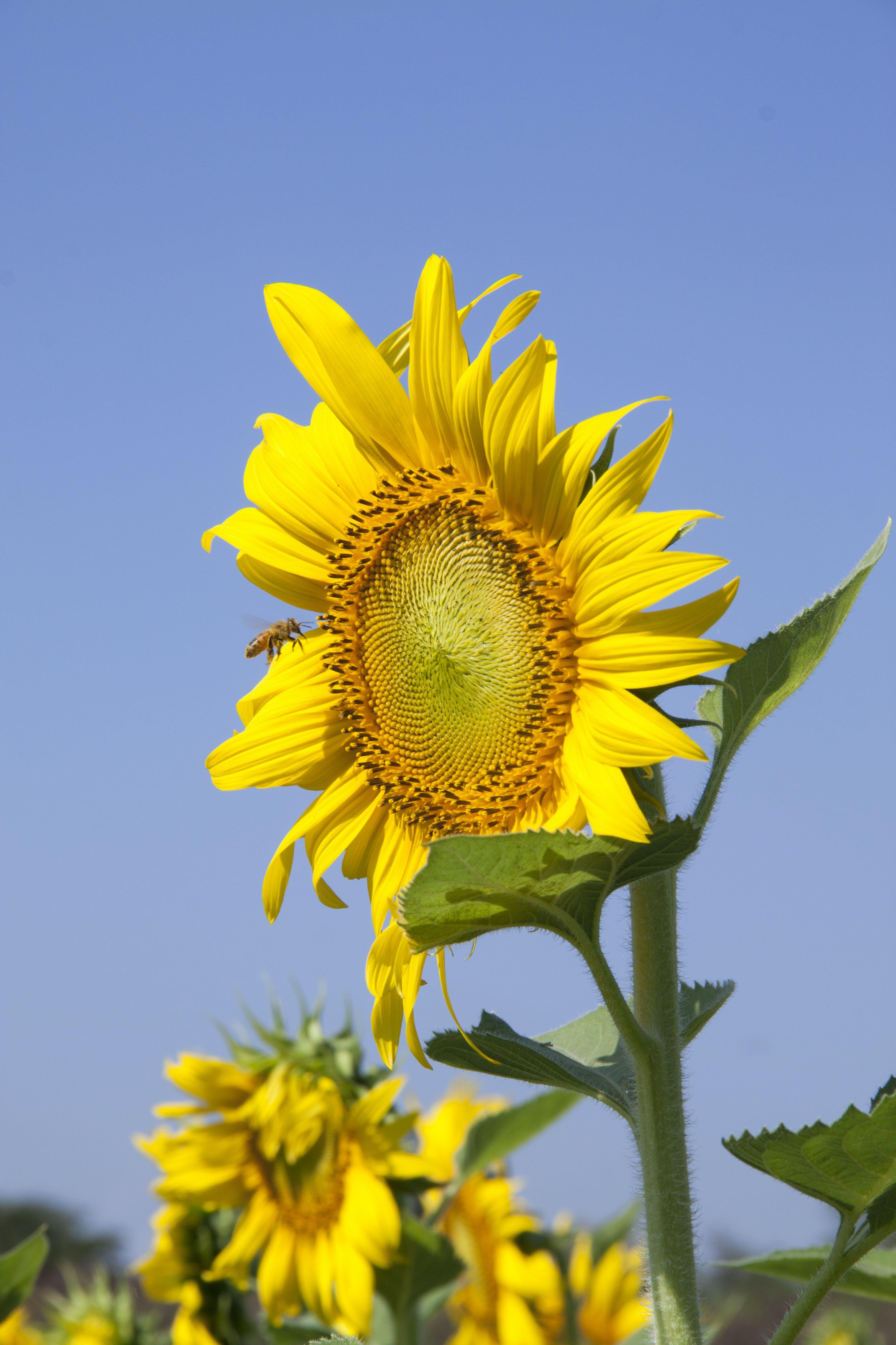 Free stock photo of bee, blue sky, field, flowers