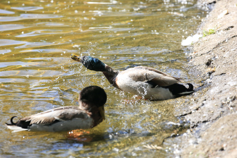 Free stock photo of animal, bath ducks, ducks