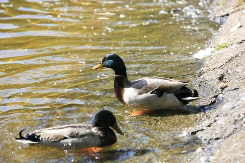 Free stock photo of animal, bath ducks, ducks
