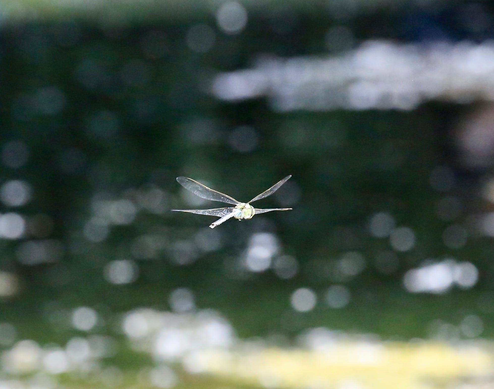 animal, dragonflies, fly