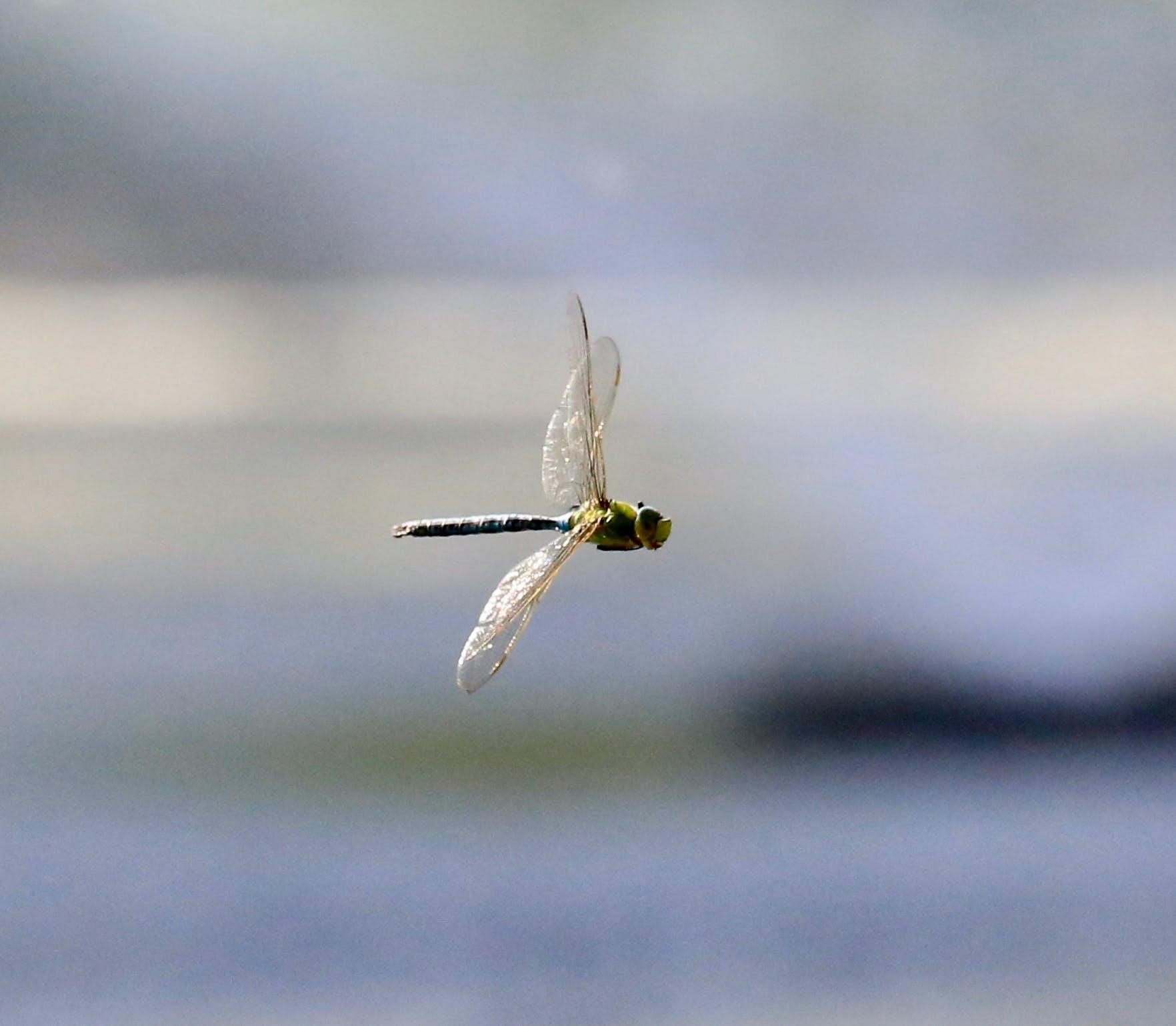 animal, dragonflies, flying