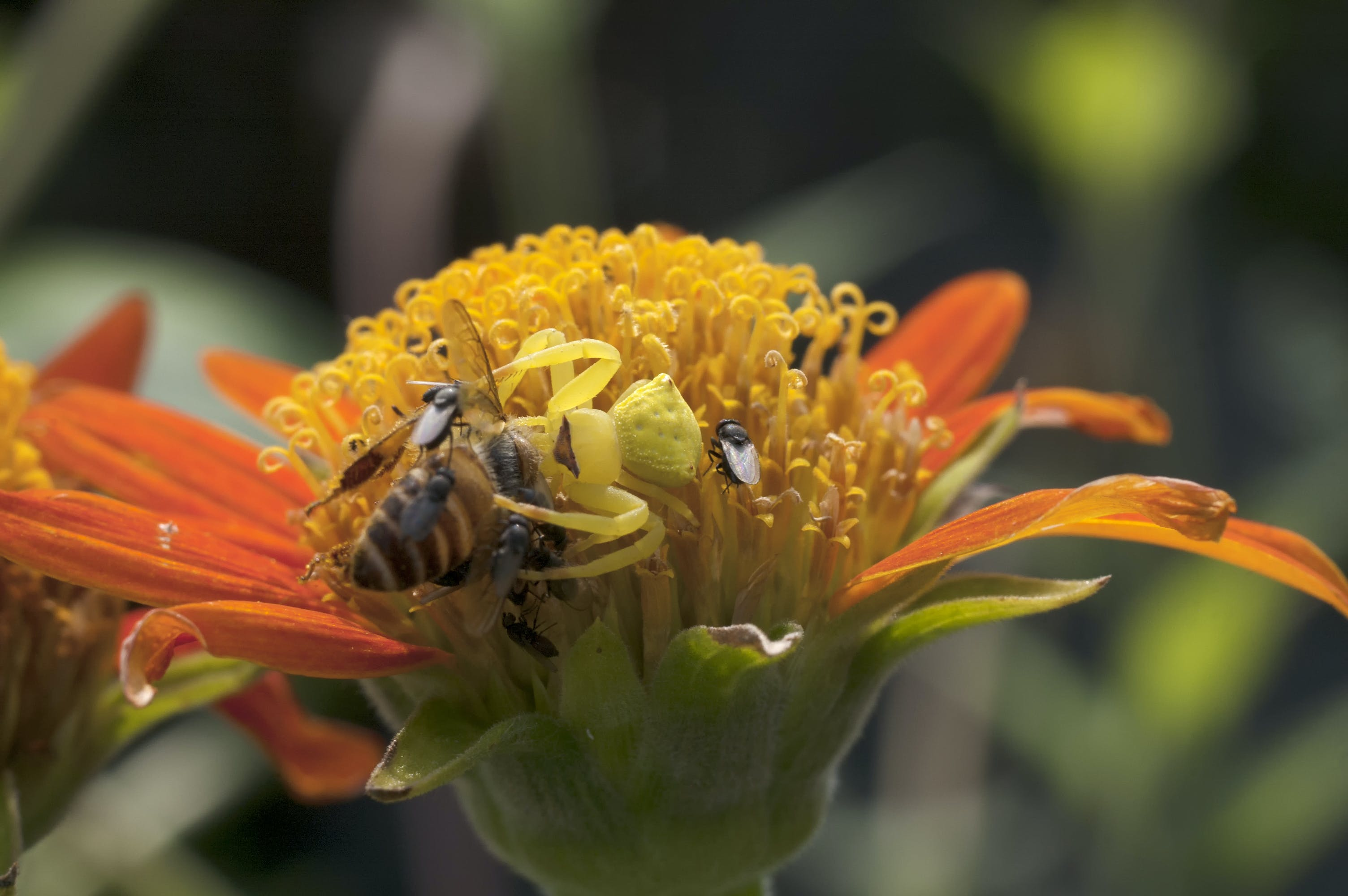 Free stock photo of bee hunting, crab spider, spider hunting honey bee