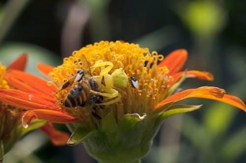 Ingyenes stockfotó méh vadászat, pók vadászat mézelő méh, rák pók témában